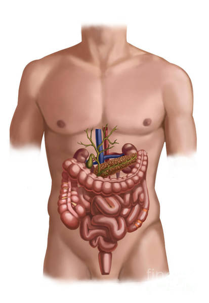Common Bile Duct Photograph - Digestive And Renal Systems by Spencer Sutton