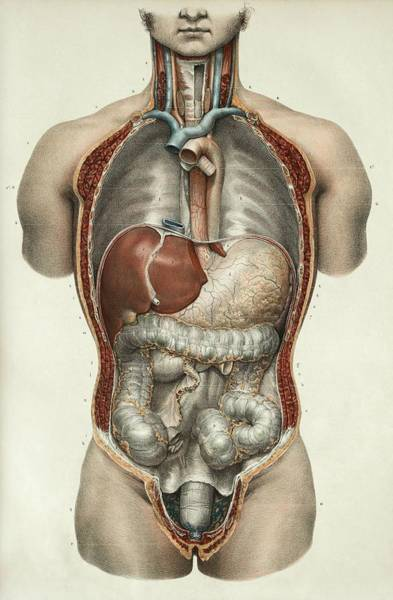 Esophagus Wall Art - Photograph - Digestive System by Science Photo Library