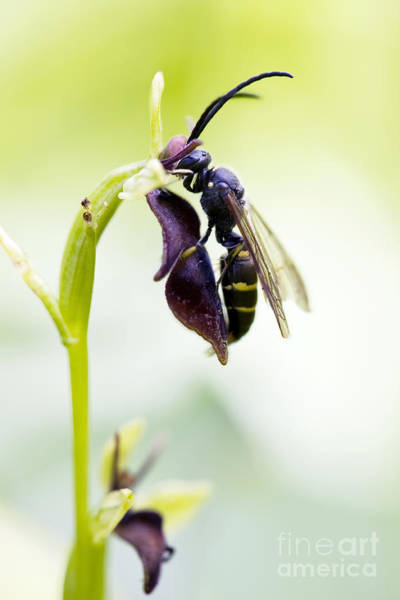 Pollinator Wall Art - Photograph - Digger Wasp And Fly Orchid by Tim Gainey