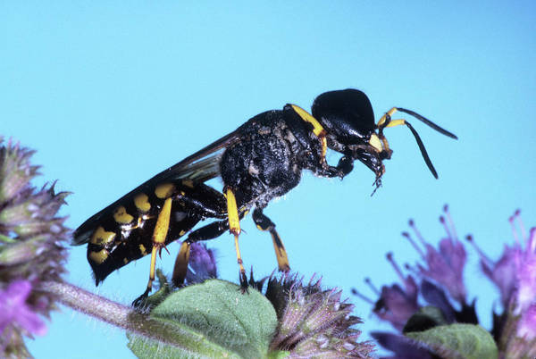 Wasp Photograph - Digger Wasp by M F Merlet/science Photo Library