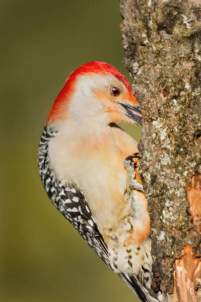 Red Bellied Woodpecker Photograph - Diggin by Bill Wakeley