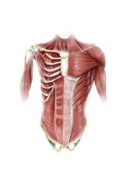External Abdominal Oblique Photograph - Digital Illustration Of Muscles by Alan Gesek