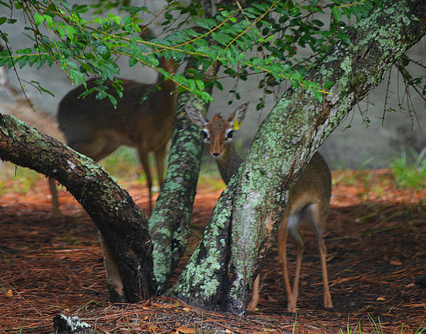 Photograph - Dik Diks Abound by Maggy Marsh