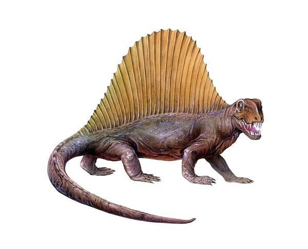 Wall Art - Photograph - Dimetrodon by Michael Long/science Photo Library