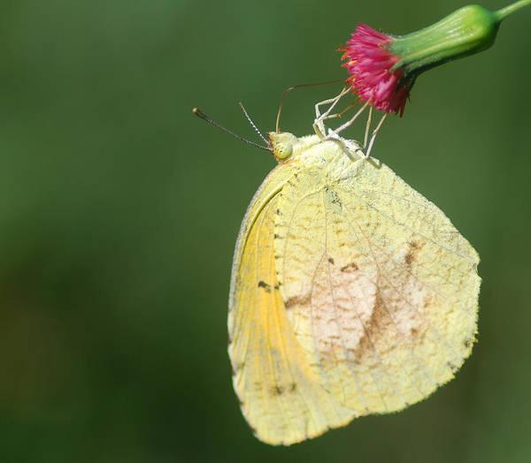 Photograph - Dina Yellow by Larah McElroy
