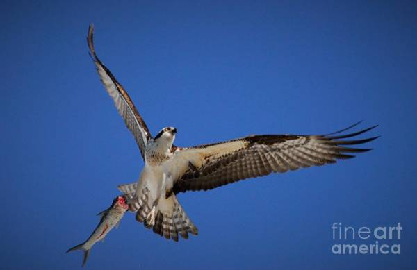 River Hawk Photograph - Dinner Time by Quinn Sedam