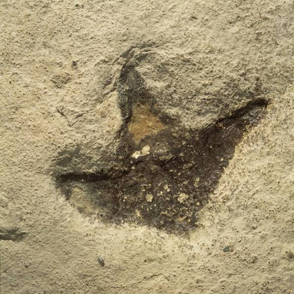 Wall Art - Photograph - Dinosaur Footprint Fossil by Natural History Museum, London/science Photo Library