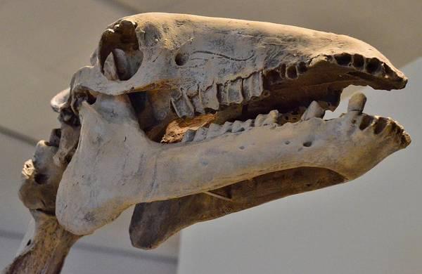 Diceratops Photograph - Dinosaur by Jeffrey J Nagy