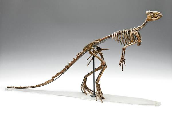 Wall Art - Photograph - Dinosaur Skeleton Cast by Ucl, Grant Museum Of Zoology