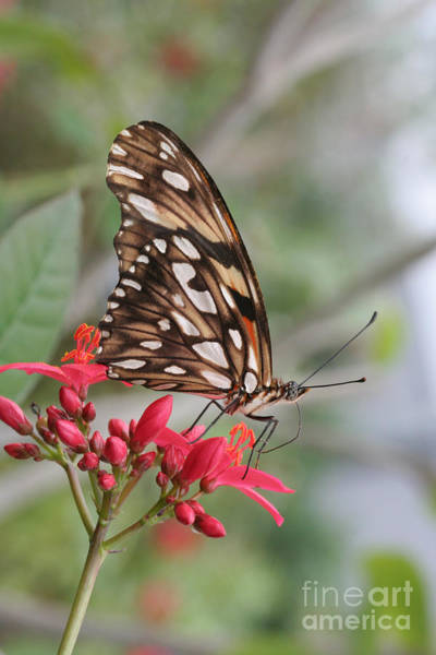 Dione Photograph - Dione Juno Longwing Butterfly by Judy Whitton