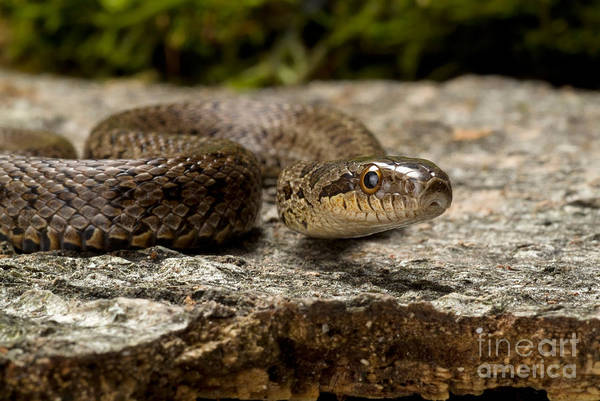 Dione Photograph - Dione Ratsnake by Frank Teigler