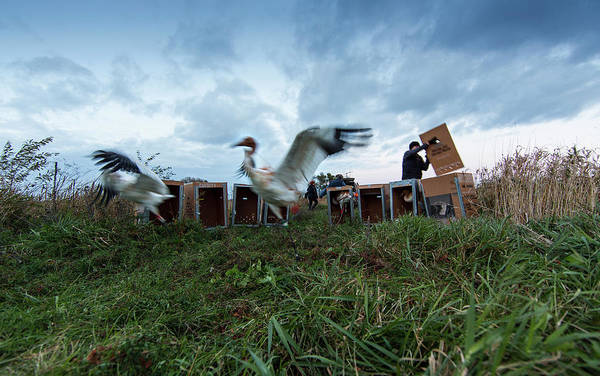 Whooping Cranes Photograph - Direct Autumn Release by Tom Lynn