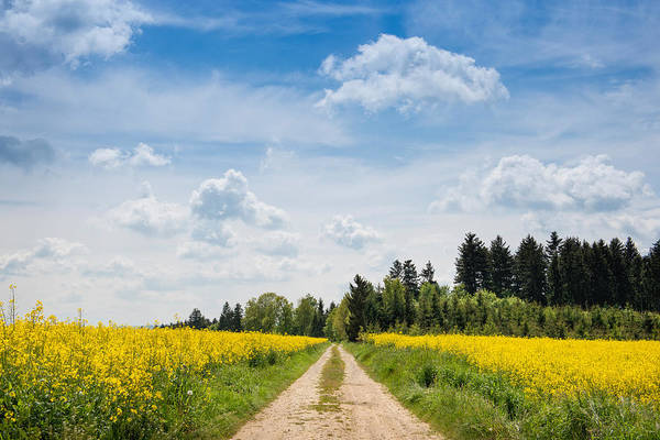 Wall Art - Photograph - Dirt Road Passing Through Rapeseed by Panoramic Images