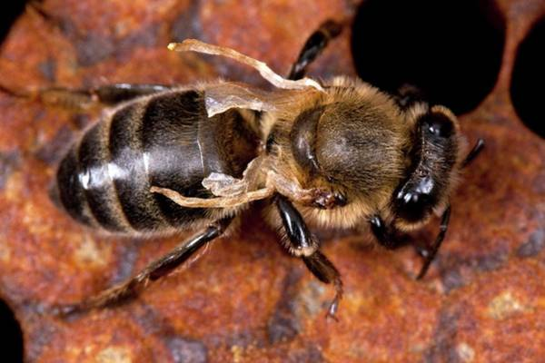 Bee Hive Photograph - Diseased Honey Bee by Philippe Psaila/science Photo Library