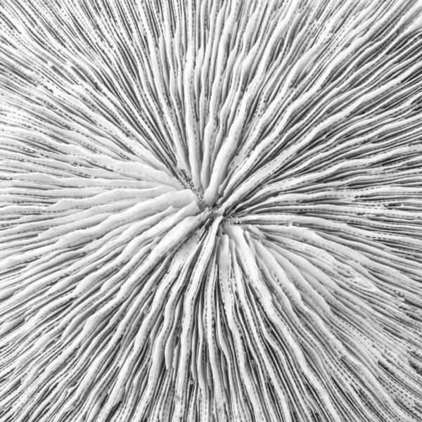 Photograph - Disk Coral Or Fungia Coral by Jim Hughes