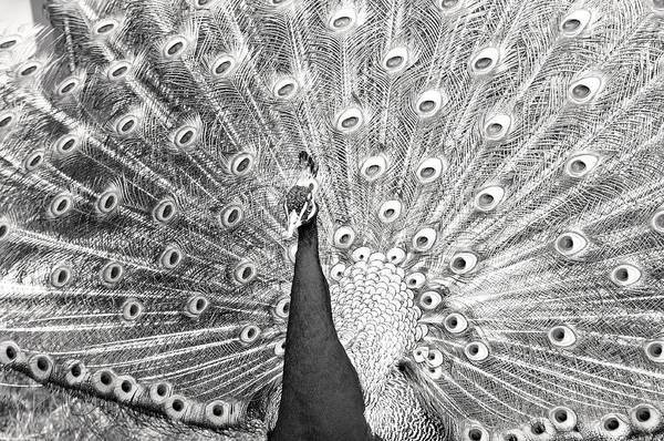 Photograph - Displaying Peacock In Black And White by Don Johnson