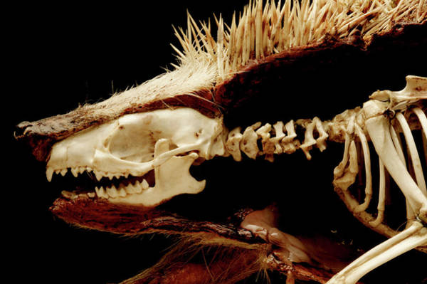 Hedgehog Photograph - Dissected Hedgehog by Mauro Fermariello/science Photo Library