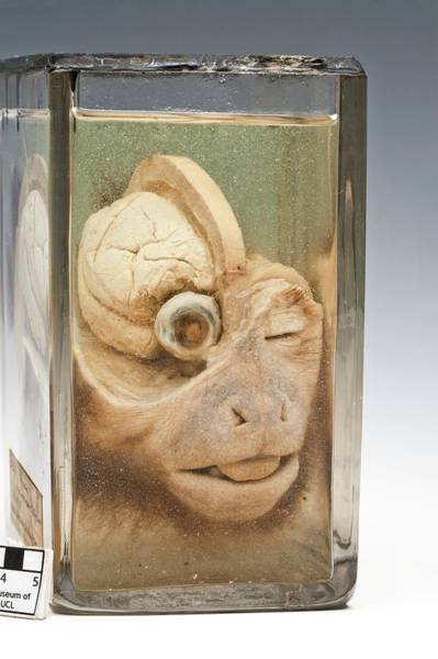 Cerebrum Photograph - Dissected Monkey Head by Ucl, Grant Museum Of Zoology