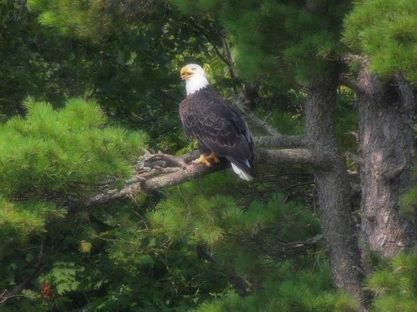 Wall Art - Photograph - Distinguished Bald Eagle by Teresa Schomig