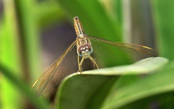 Wall Art - Photograph - Ditch Jewel Dragonfly by K Jayaram/science Photo Library