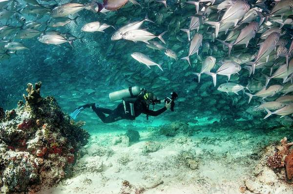 Trevally Photograph - Diver And School Of Jackfish by Georgette Douwma/science Photo Library