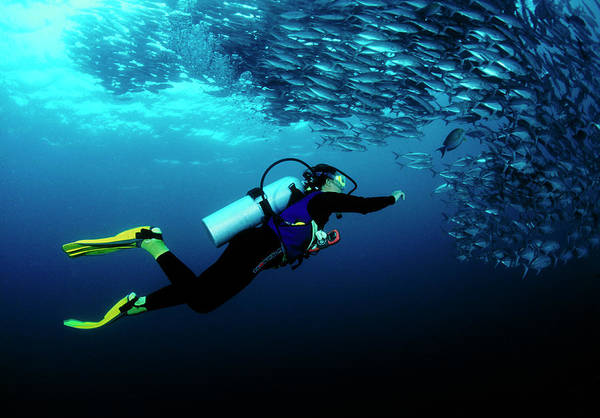 Trevally Photograph - Diver And Trevally by Matthew Oldfield/science Photo Library