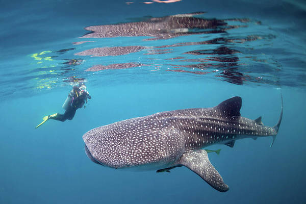 Wall Art - Photograph - Diver Photographing A Whale Shark by Alessandro Cere
