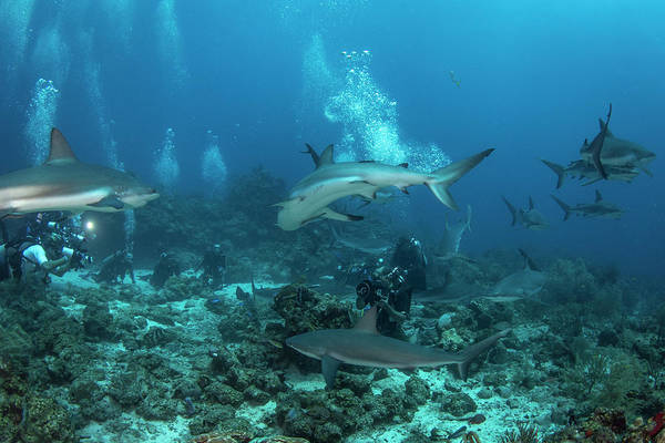 Wall Art - Photograph - Divers And Grey Reef Sharks, Roatan by Brandi Mueller