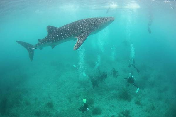 Ocean Life Photograph - Divers And Snorklers With A Whale Shark by Scubazoo