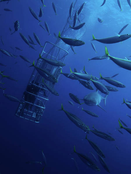 Wall Art - Photograph - Divers Feed A Great White Shark Some by Morten Beier