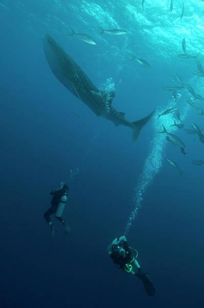 Wall Art - Photograph - Divers Watching A Whale Shark by Mathieu Meur