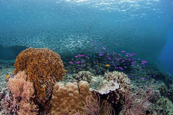 Philippines Photograph - Diverse Coral Reef In The Philippines by Scubazoo