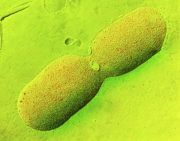 Escherichia Coli Photograph - Dividing E. Coli Bacterium by Dr Tony Brain/science Photo Library