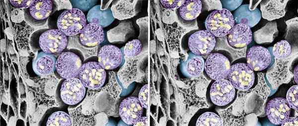 Scanning Electron Micrograph Wall Art - Photograph - Dividing Pollen Cells by Professor T. Naguro