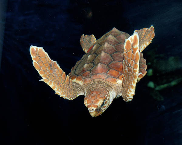 Photograph - Diving Turtle by Mike Covington