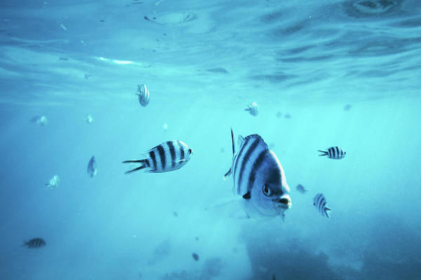 Snorkeling Photograph - Diving With Fishes by Borchee