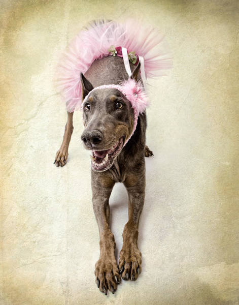 Headband Photograph - Doberman Ballerina  by Susan Schmitz