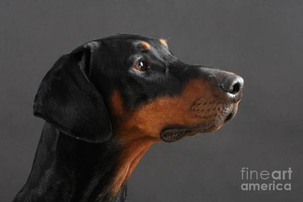 Doberman Photograph - Doberman Pinscher Dog by Christine Steimer