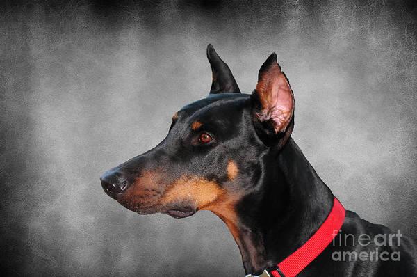 Doberman Photograph - Doberman Pinscher by Paul Ward