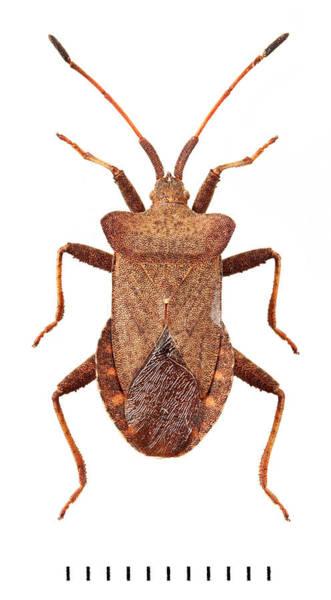 Invertebrata Wall Art - Photograph - Dock Bug by Natural History Museum, London
