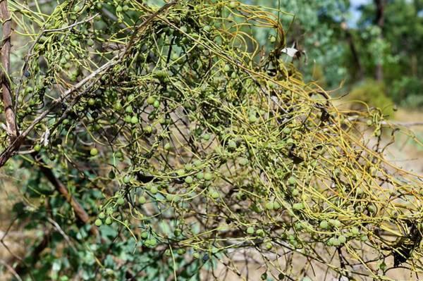 Laurel Photograph - Dodder Laurel (cassytha Melantha) by Dr Jeremy Burgess/science Photo Library