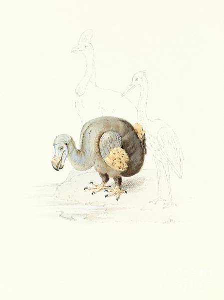 The Belvedere Photograph - Dodo, 1848 Artwork by Royal Institution Of Great Britain