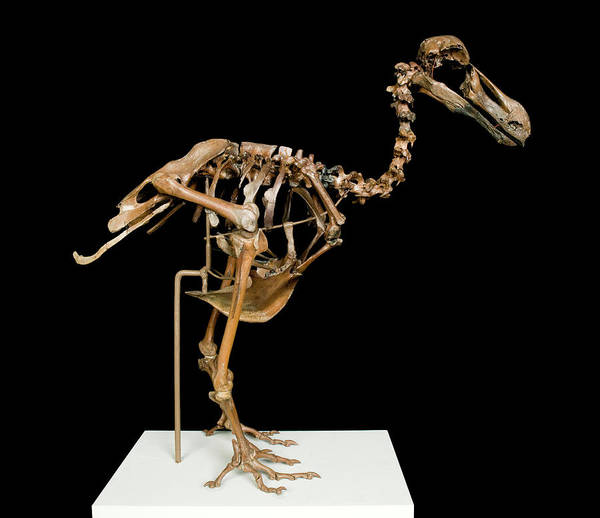 Aves Photograph - Dodo Skeleton by Natural History Museum, London