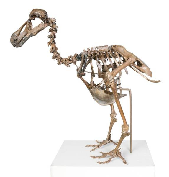 Treasure Hunt Wall Art - Photograph - Dodo Skeleton by Science Photo Library