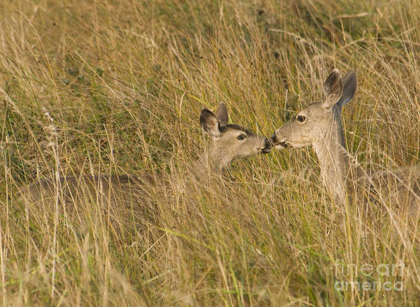 Photograph - Doe And Fawn by Dan Suzio