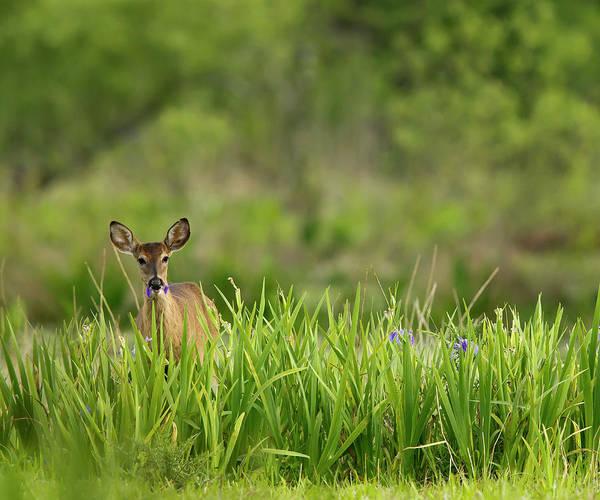 Doe Photograph - Doe Feeding On Prairie Iris, Grimes by Maresa Pryor
