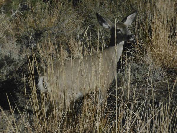 Photograph - Doe Mule Deer by Don Kreuter