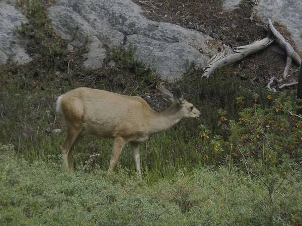 Photograph - Doe Mule Deer Feeding by Don Kreuter
