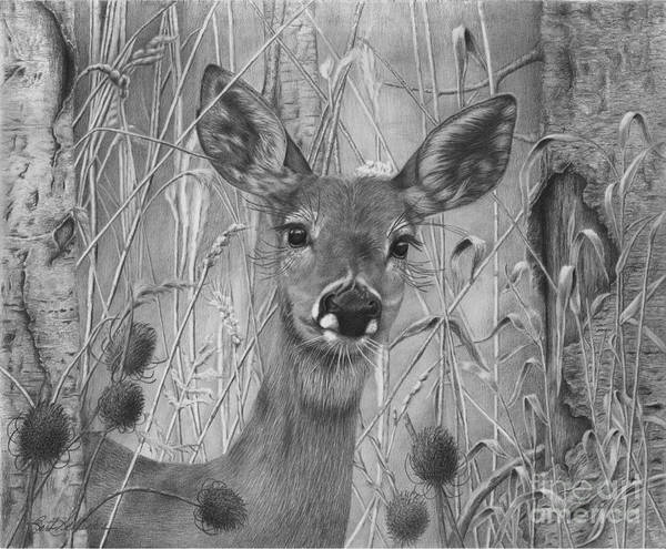 Whitetail Drawing - Doe Pretty by Barb Schacher