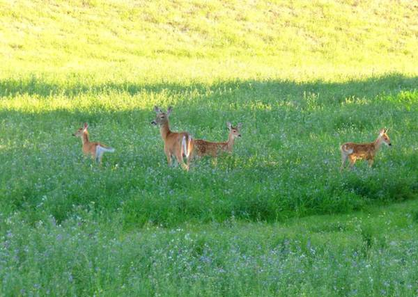 Triplets Photograph - Doe With Triplets by Will Borden